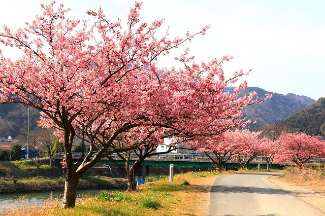 みなみの桜-1