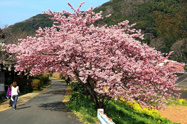 みなみの桜-5