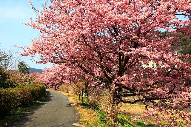 みなみの桜-8