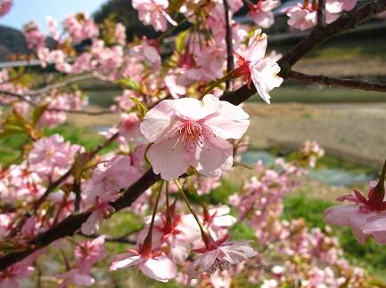 みなみの桜-2