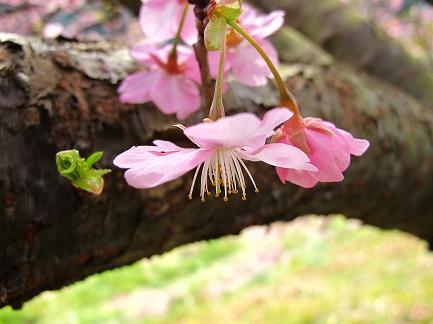 みなみの桜-4