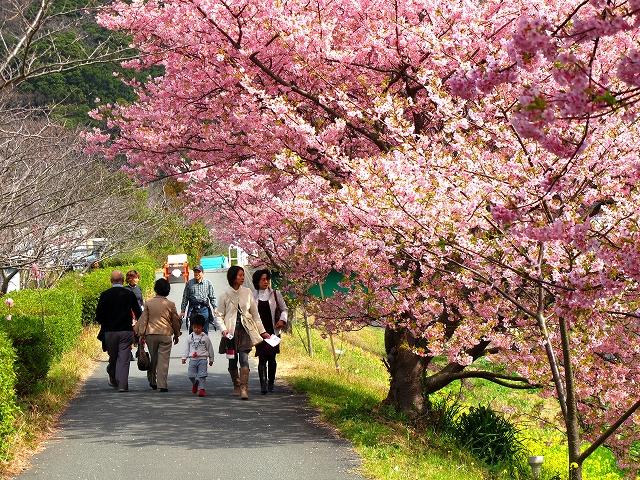 みなみの桜-6
