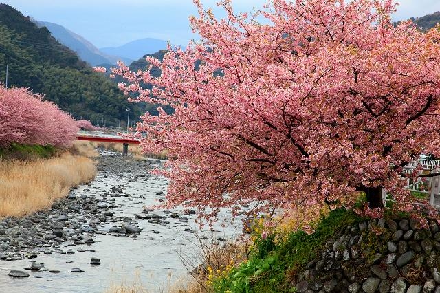 河津桜-10