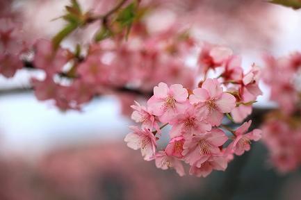 河津桜-11