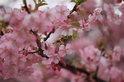 河津桜-12