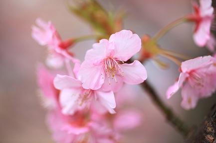 河津桜-13