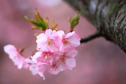 河津桜-14