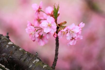 河津桜-15