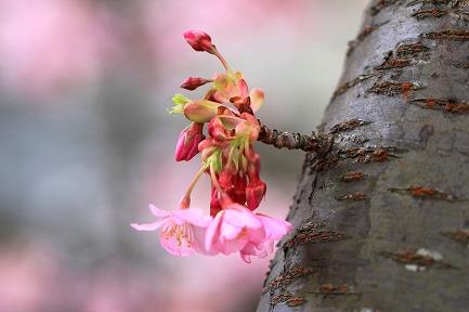河津桜-16