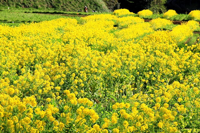くりはま花の国-6