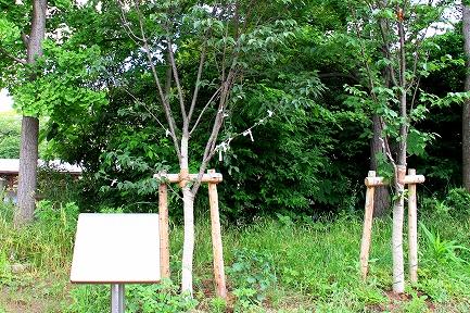 幸村桜-1