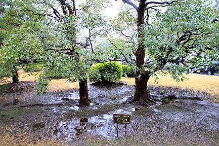 都道府県の木(佐賀)