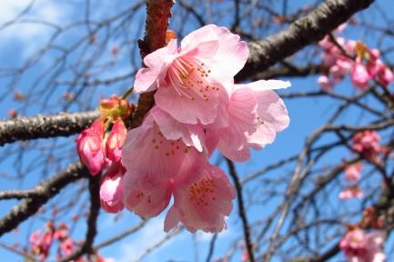 熱海桜-2