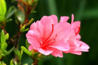 可憐に咲くツツジの花-2