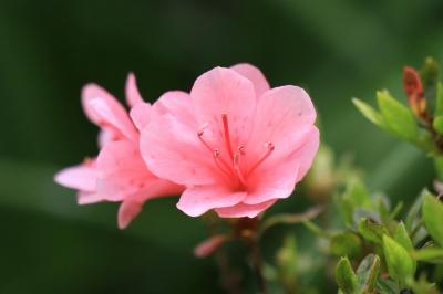 可憐に咲くツツジの花-1
