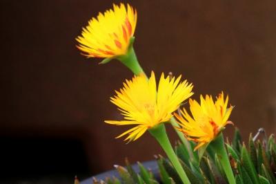 黄色がきれいな三時草
