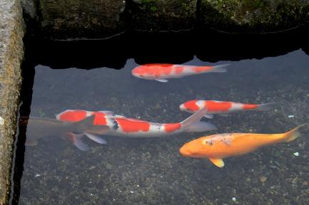 鯉の泳ぐまち-7