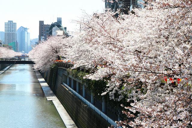 目黒川の桜-6