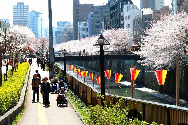 目黒川の桜-7
