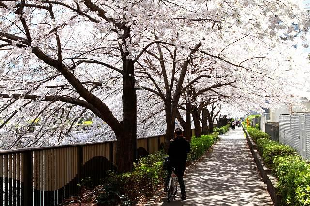 目黒川の桜-8