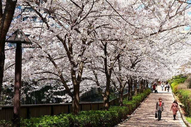 目黒川の桜-10