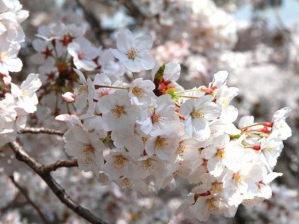 目黒川の桜-11
