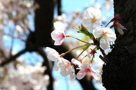 目黒川の桜-12