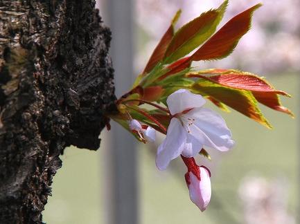 目黒川の桜-13