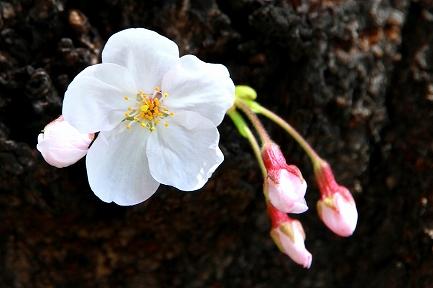目黒川の桜-14