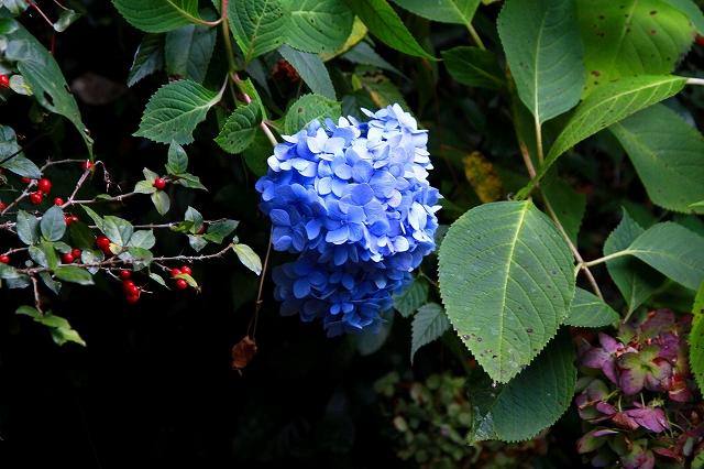 参道に咲くアジサイ-1