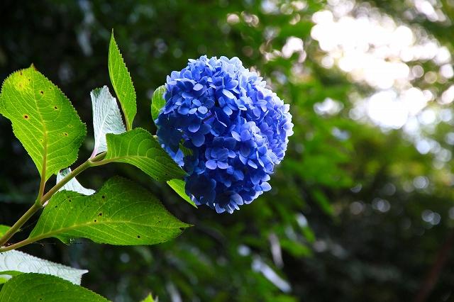 参道に咲くアジサイ-2
