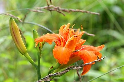 美しい花・カンゾウ
