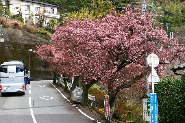 あたみ桜-1
