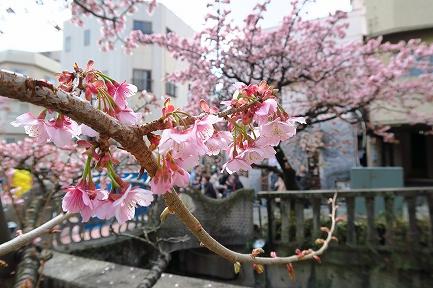 あたみ桜-6