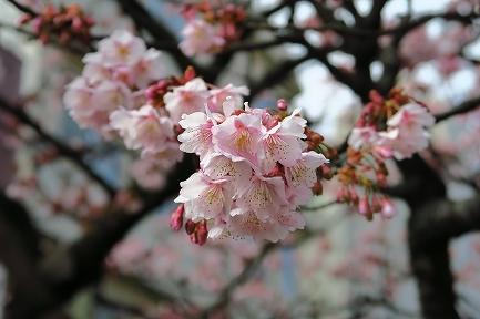 あたみ桜-7