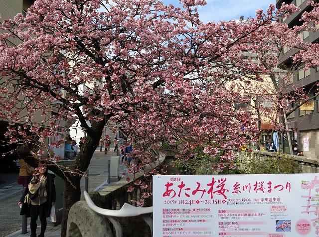 あたみ桜-9