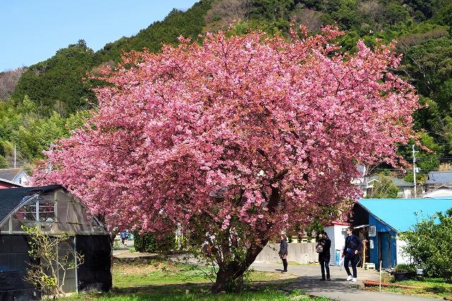 河津桜-5