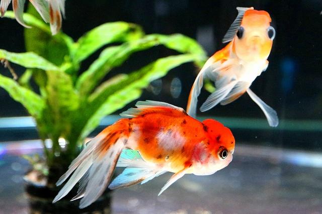 金魚水族館-6