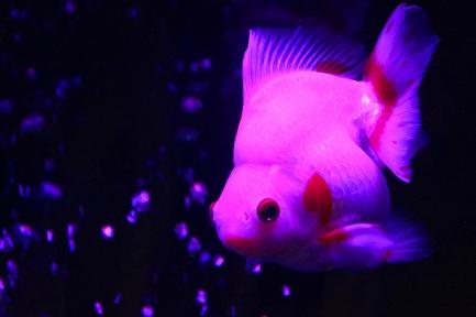金魚水族館-7