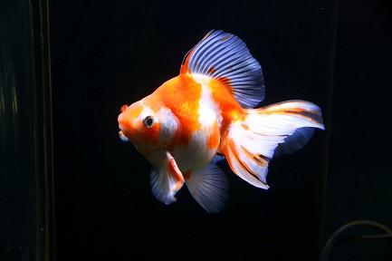 金魚水族館-9