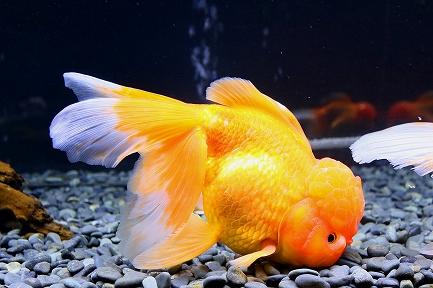 金魚水族館-10