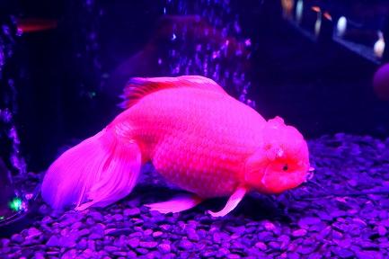 金魚水族館-11