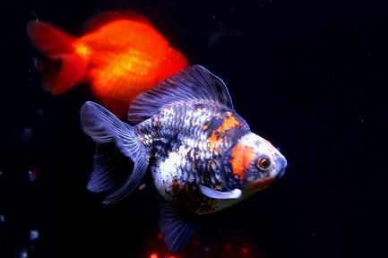 金魚水族館-12