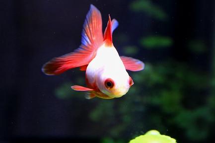 金魚水族館-13