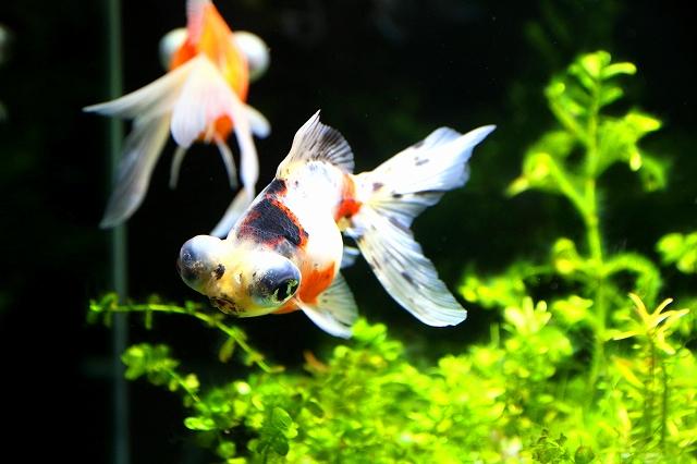金魚水族館-15