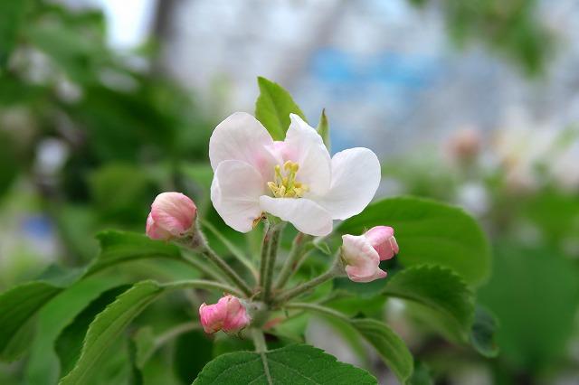 りんごの花-1