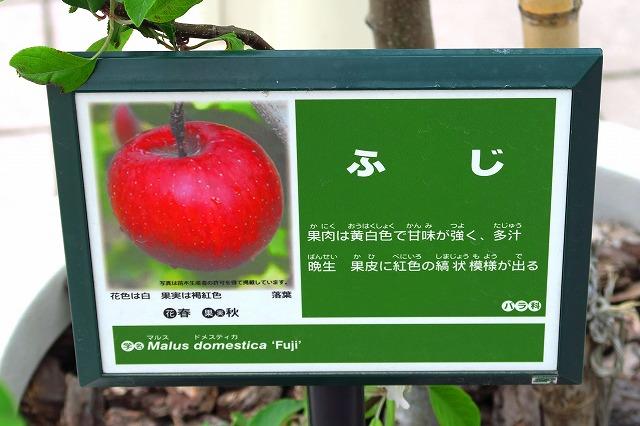 りんごの花-2