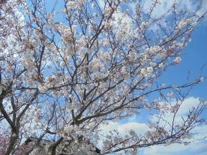 2019桜