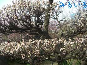 大阪城の梅林に行ってきました2