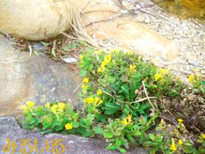 千畳敷の黄色い花|手作りアクセサリー工房みるいる